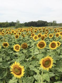 Sunflower Expo at A Maze in Corn, Manitoba Arctic Tundra, Canadian Travel, Wheat Fields, Corn Maze, Sunflower Fields, Seasons Of The Year, Red River, Camping And Hiking, Rafting