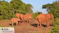 Elefanten sind Herdentiere, deshalb ist der Kontakt zu ihren Artgenossen sehr wichtig. Im Elefantenwaisenhaus bilden die kleinen Elefanten eine neue Herde, nachdem sie ihre ursprüngliche Herde oft durch Wilderei verloren haben. Der Kontakt zu den anderen Elefantenwaisen ist für die Tiere sehr wichtig. Aga, Elephant, Animals, Kenya, January, Elephants, Animales, Animaux, Animal