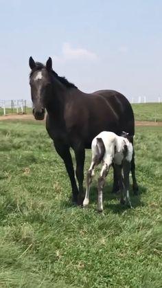 Beautiful Arabian Horses, Most Beautiful Horses, Majestic Horse, Pretty Horses, Horse Love, Animals Beautiful, American Paint Horse, American Quarter Horse, Andalusian Horse