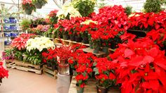 Poinsettia are a staple of a lush Christmas at Nick's Garden Center. We have whites and reds.