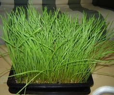 I got the idea to grow my own wheatgrass after buying a cat grass growing kit for my cat. Its pretty easy, grows well indoors and not a lot of supplie...