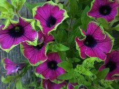 020 Roof Garden: 'Pretty Much Picasso' Petunias | Proven Win… | Flickr
