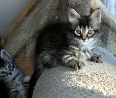 tabby angora | Dschadi's Türkisch Angora Kätzchen - Kitten