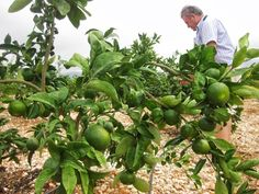 Llega septiembre y con él la temporada de  #mandarinas #okitsu #satsuma de @PegoNatura cosecha 2013 #gastronomia