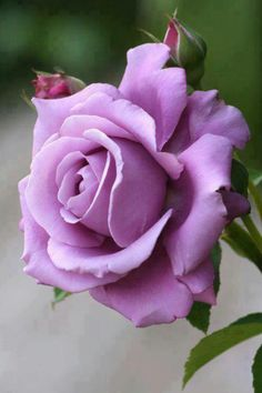 Purple rose for bride's bouquet and maybe groom's bout?