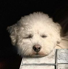 Bichons, God Pictures, Bichon Frise, Cute Dogs, Creatures, Marvel, Friends, Funny, Animals