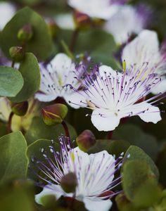 Caper flower in Pantelleria  http://www.underthealmondtree.com/2013/04/19/foccacia-alla-pantesca/
