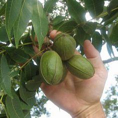 Desirable Pecan Tree - Type 2 Pecan Trees | Type 1 Pecan Trees | Northern Pecans - Willis Orchard Company