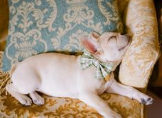 Fashionably napping French bulldog.
