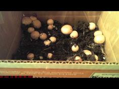 Learn How to Grow Portobello Mushrooms at Home that you can get from consuming portobello mushrooms, before you start growing them in your yard. Mushroom Spores, Maitake Mushroom, Edible Mushrooms, Stuffed Mushrooms, Mushroom Culture, Growing Mushrooms At Home, Mushroom Kits, Organic Protein, Grow Organic