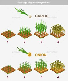 Stages of Vegetables Growth Garlic and Onion by BabySofja Set stage of growth vegetables. Garlic and onion in vector for playing a perspective. Package includes version AI, E Planting Garlic, Planting Vegetables, Growing Vegetables, Growing Plants, Regrow Vegetables, Planting Onions Bulbs, Fruit Garden, Edible Garden, Garden Plants