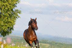 Arab racer runs on a green summer meadow by ElenaShchipkova. Arab racer runs on a green summer meadow