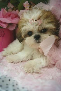 Elegant Shih Tzu Puppies