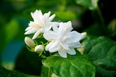 Your Guide to Planting And Maintaining Asiatic Jasmine Plants