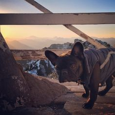 Dillon!  Cute Frenchie!  #dogs #doglovers