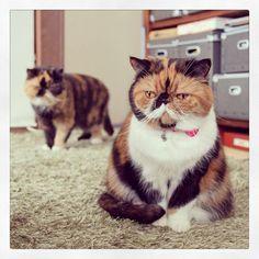 Calico grumpy cat