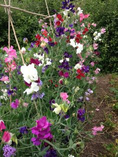 #FleursFridayFlower - Sweet Pea (Lathyrus odoratus) |