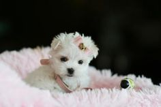 Tiny and gorgeous Maltese puppy for sale  Remember, only get animals if you want to spend the next 14 years taking care of them. Loving them is easy, patience must come next.