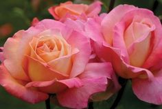 """Chicago Peace, Gorgeous, classically formed 5+"""" blooms on a very vigorous plant. The color is a striking blend of phlox-pink and creamy yellow with orange tones (natural genetic color mutation) having a pleasant fruity fragrance. A sport of the worlds most famous rose 'Peace'. This continually blooming rose makes a good cut flower."""