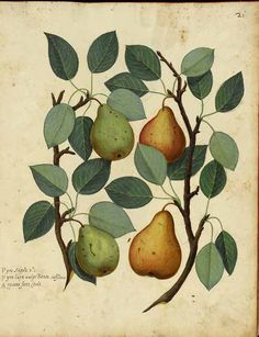 Pears by Ulisse Aldrovandi (11 September 1522 – 4 May 1605).  Source - vintageprintable.com