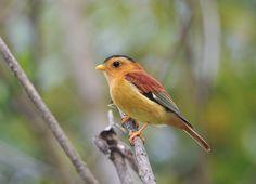 Foto caneleirinho-de-chapéu-preto (Piprites pileata) por Luiz Ribenboim   Wiki Aves - A Enciclopédia das Aves do Brasil