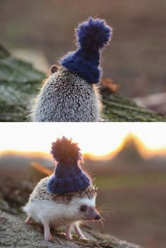 hedgehog in a hat!