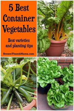 Here are the 5 best container vegetables for beginning gardeners. They're all easy to start from seed and will grow happily in pots on your patio, driveway, next to your pool…wherever they fit. #gardening #gardentips #organicgardening