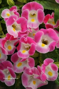Torenia, the Wishbone Flower in a pretty pink and yellow.  This plant comes in multiple color choices also and can be planted both in containers and shade gardens in the ground.  So pretty!