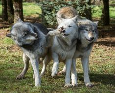 Wolves at play by Richard Bond on 500px