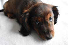 Daschund Puppies For Sale, Miniature Dachshund For Sale, Dachshunds For Sale, Miniature Dachshunds, Tiny Puppies, Dachshund Dog, Cute Puppies, Thai Chi, Dog Coat Pattern