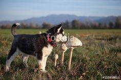 husky puppy explores the smell of parasol mushroom