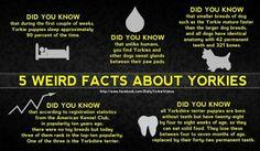 Facts yorkies