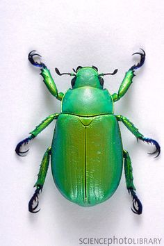 Scarab beetle- This beetle is also known as the Shining Leaf Chafer Beetle. It is known for it's vibrant, shiny color. While scarab beetles are common in Egyptian myths, this particular specimen is from the Southwestern United States where it is considered an agricultural pest.