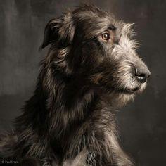 Irish Wolfhound, photo by Paul Croes Beautiful Dogs, Animals Beautiful, Cute Animals, I Love Dogs, Cute Dogs, Magyar Agar, Foto Fantasy, Raining Cats And Dogs, Charles Darwin