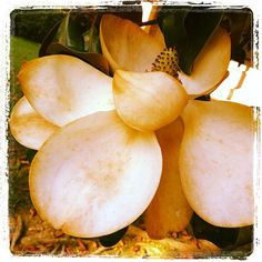 magnolia  by williebaronet, via Flickr