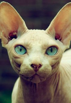3 Timely Hacks: Sphynx Cat Names cat accessories furniture. I Love Cats, Cool Cats, Animals And Pets, Cute Animals, Cat Anatomy, Animal Gato, Sphinx Cat, Photo Chat, Foto Art