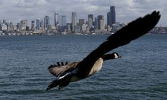 Photos of the month, March 2014 - Canada goose flies across the Seattle skyline | The Seattle Times