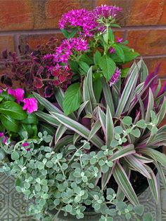 Sun Container Garden - purple & silver flowers & foliage - Licorice Plant, Vinca Cora, Coleus, Penta, Moses in a Basket,