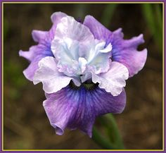Siberian Iris Fisherman's Fancy from Ensata