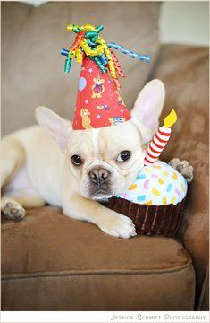 """Happy Birthday!""....""you aint gettin' my Cupcake"", French Bulldog Puppy, NYC."