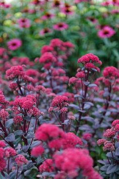 """Sedum """"Red Cauli"""" A fleshy-leaved perennial with plum-purple foliage and tightly-packed cauliflower-like heads. The pink flowers appear in late summer and turn to red as the season moves into autumn. The blooms are followed by eye-catching deep maroon seedheads extending its season of interest into late autumn and beyond. Hardy Purple fleshy leaves Pink to dark red flowers HxS 30x30cm Full sun Loved by butterflies Flowers - September-October RHS Award of Garden Merit"""