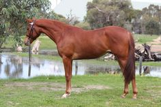 anglo arab  mare