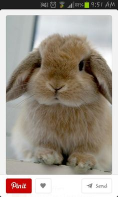 Holland lop ....want one but I know nothing  about them .......any advice?? Thanks