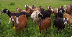 Nubians love their ears.. They are also the chatty Kathys of the goat world..