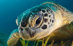 A team of researchers have said that they have been able to successfully remove a plastic straw from a sea turtle's nose, in an instance that highlights the impact of seas pollution on wild life. Description from austriantribune.com. I searched for this on bing.com/images