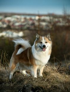 Interesting dog fact of the week: It is illegal to keep a dog as a pet in Iceland. Cute Baby Dogs, I Love Dogs, Small Puppies, Dogs And Puppies, English Sheepdog, Icelandic Sheepdog, Dog Heaven, Dog Facts, Cute Animals