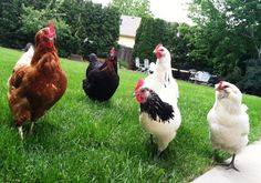 Backyard Chickens Are The New Home Garden; Here's Why To Get Your Own. #eatlocal #farming