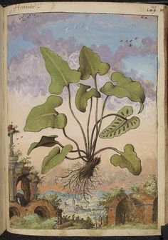 Phyllitis hemionitis, from De Materia Medica, a work on herbal medicine by Pedanius Dioscorides, 16th century edition. It depicts a wide range of plants against a backdrop of landscapes, often featuring populated scenes. Watercolour