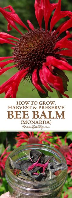Monarda is a popular perennial plant used in bee and butterfly gardens. It is commonly known as Bee balm and its fragrant blossoms attract bees, hummingbirds, butterflies, and other pollinating insects. Monarda also has a long history of medicinal uses by The Farm, Healing Herbs, Medicinal Plants, Natural Healing, Permaculture, Types Of Herbs, Hummingbird Garden, Perennial Plant, Perennial Gardens