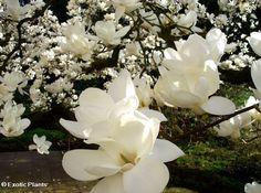 Magnolia_grandiflora6_large.jpg (688×512)